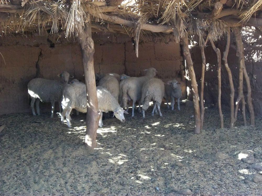 Novembre 2012 - Un troupeau de brebis D'Manes