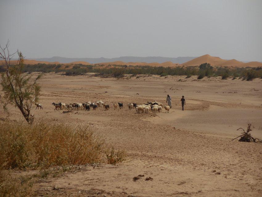 Le troupeau traversant le Draa